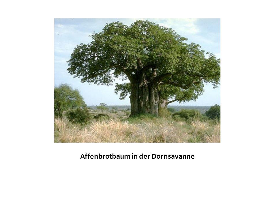 Affenbrotbaum in der Dornsavanne