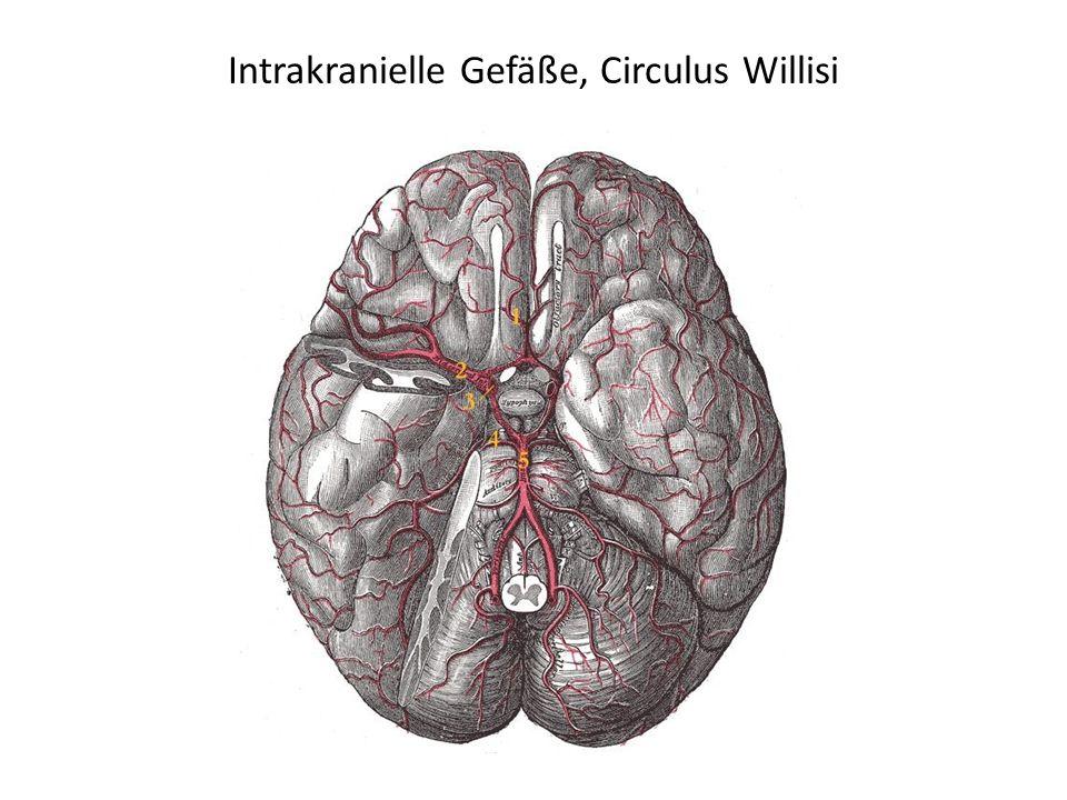 Intrakranielle Gefäße, Circulus Willisi