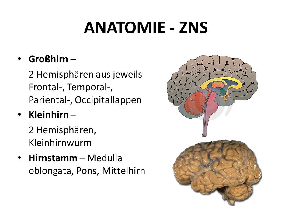 ANATOMIE - ZNS Großhirn –
