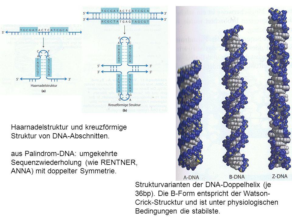 Haarnadelstruktur und kreuzförmige Struktur von DNA-Abschnitten.