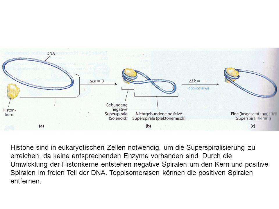 Histone sind in eukaryotischen Zellen notwendig, um die Superspiralisierung zu erreichen, da keine entsprechenden Enzyme vorhanden sind.