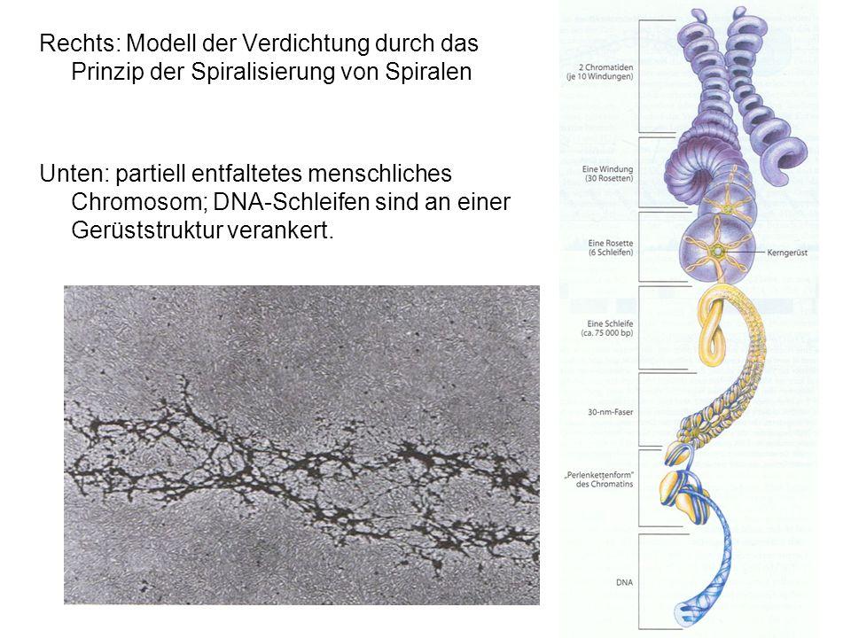 Rechts: Modell der Verdichtung durch das Prinzip der Spiralisierung von Spiralen