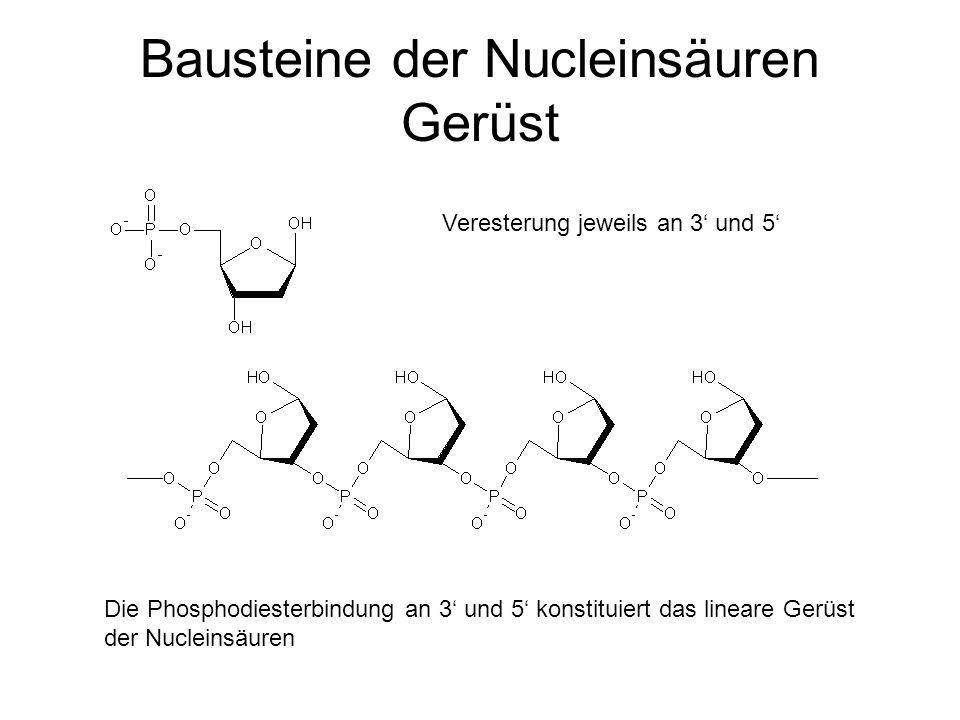 Bausteine der Nucleinsäuren Gerüst
