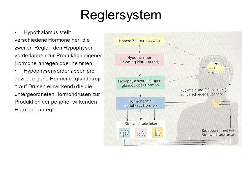 Reglersystem Hypothalamus stellt verschiedene Hormone her, die