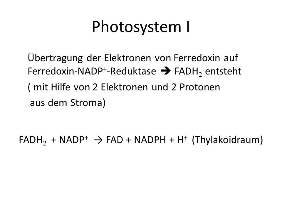 Photosystem I Übertragung der Elektronen von Ferredoxin auf Ferredoxin-NADP+-Reduktase  FADH2 entsteht.