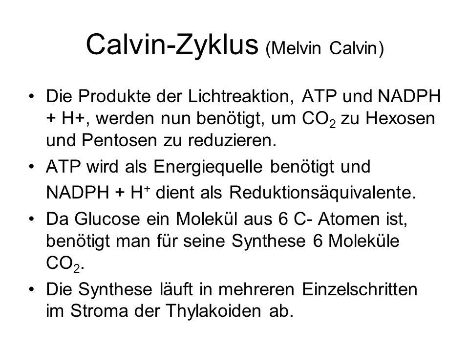 Calvin-Zyklus (Melvin Calvin)