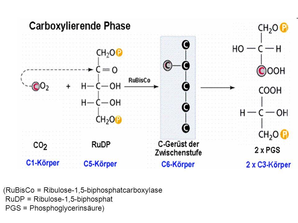 (RuBisCo = Ribulose-1,5-biphosphatcarboxylase