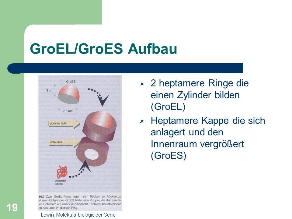 GroEL/GroES Aufbau 2 heptamere Ringe die einen Zylinder bilden (GroEL)