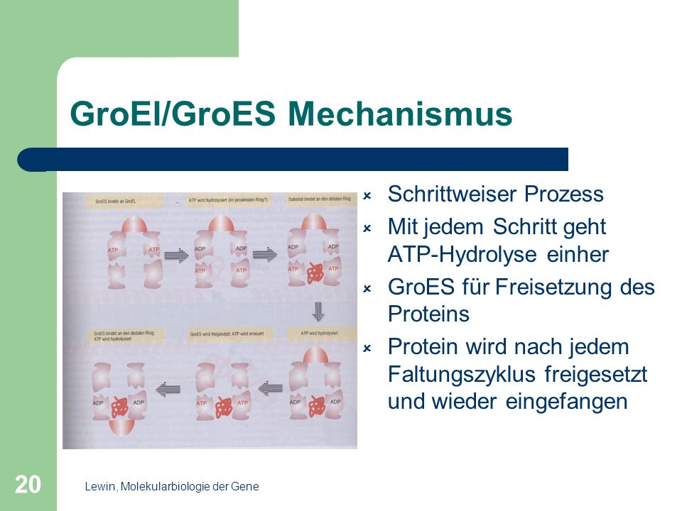 GroEl/GroES Mechanismus
