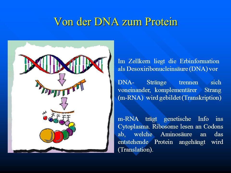 Von der DNA zum Protein Im Zellkern liegt die Erbinformation als Desoxiribonucleinsäure (DNA) vor.