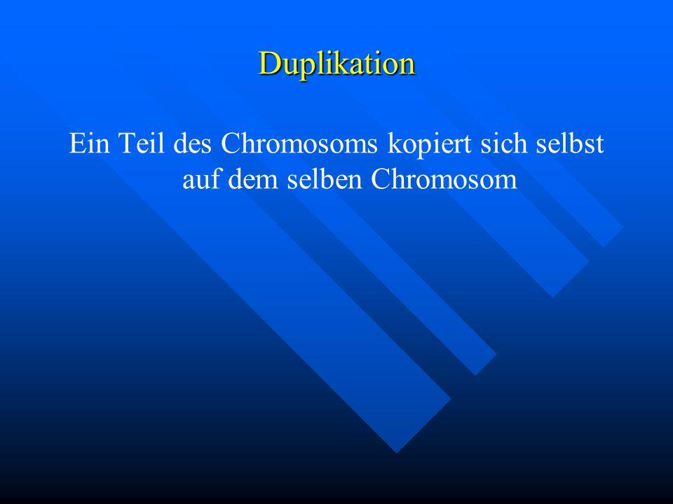 Ein Teil des Chromosoms kopiert sich selbst auf dem selben Chromosom