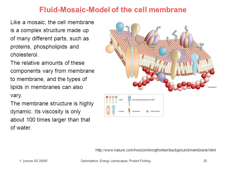 Fluid-Mosaic-Model of the cell membrane