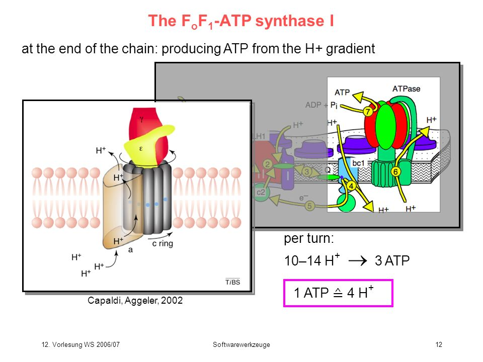 The FoF1-ATP synthase Iat the end of the chain: producing ATP from the H+ gradient. Capaldi, Aggeler, 2002.
