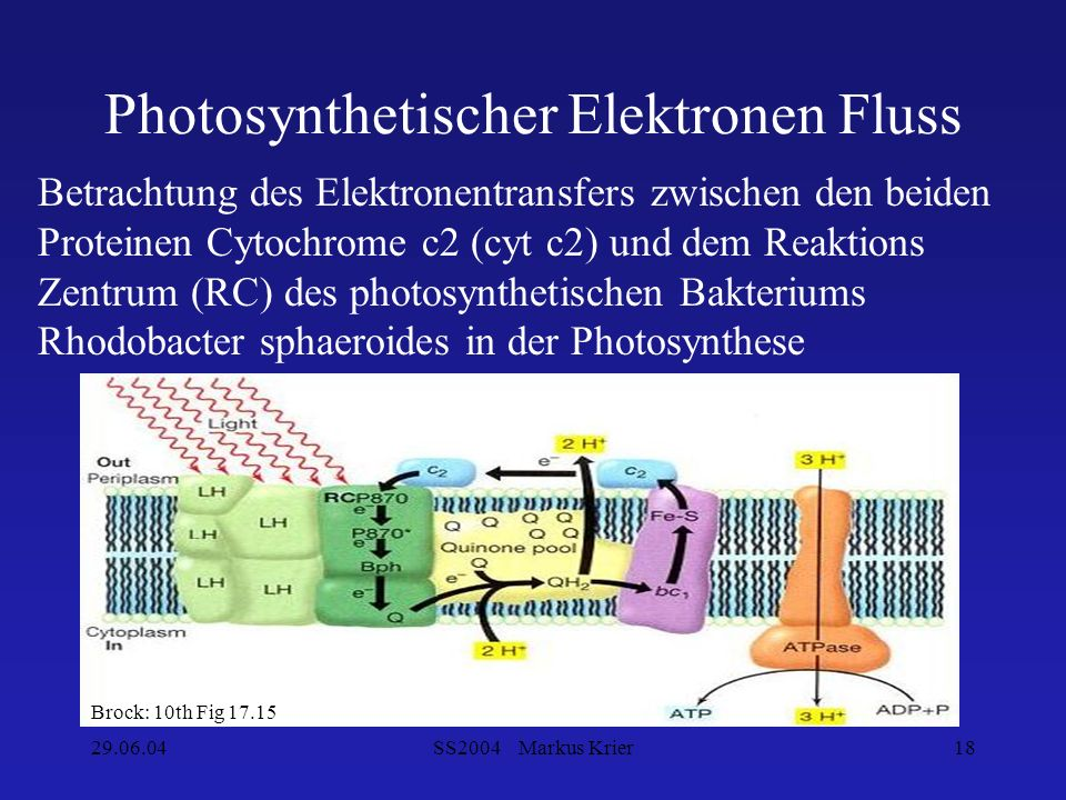 Photosynthetischer Elektronen Fluss