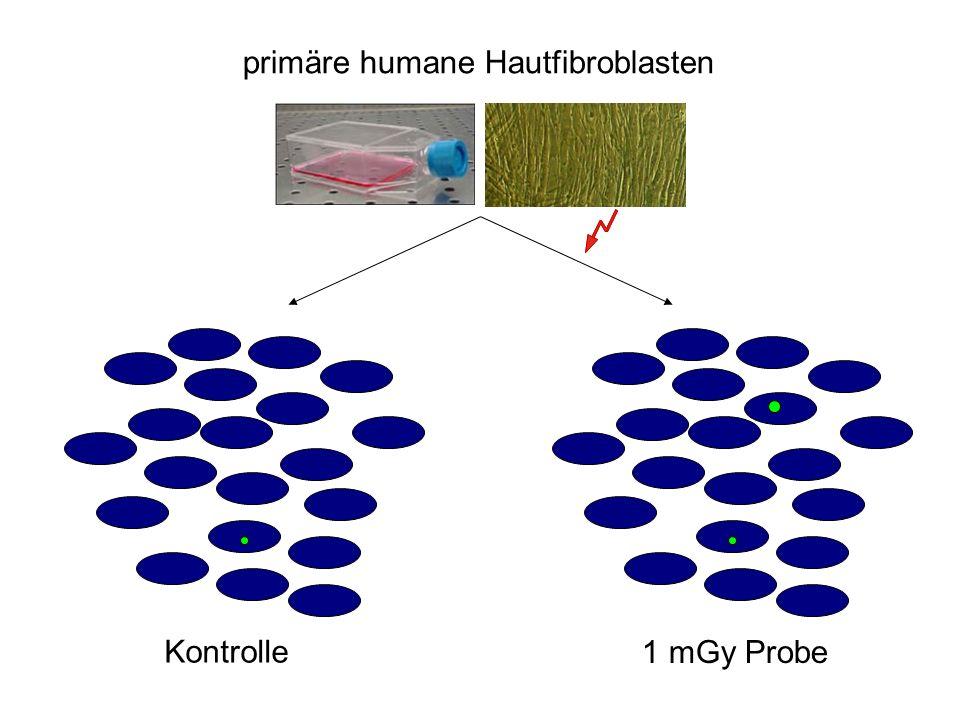 primäre humane Hautfibroblasten