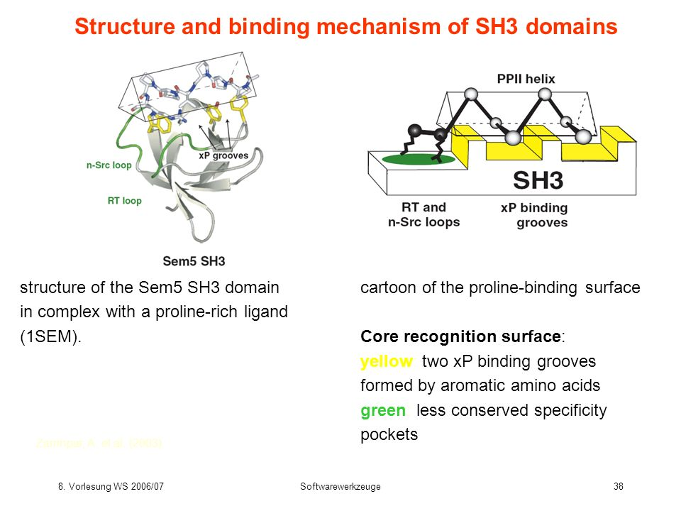 Structure and binding mechanism of SH3 domains