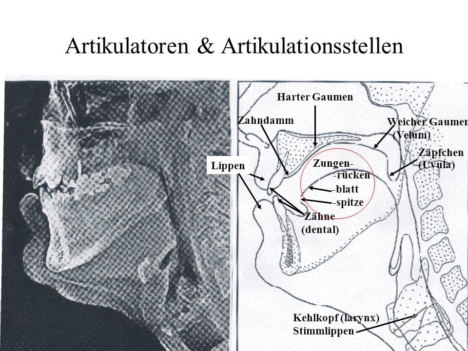 Artikulatoren & Artikulationsstellen