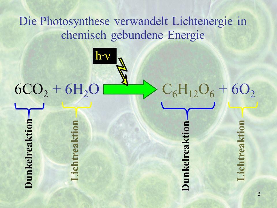 Die Photosynthese verwandelt Lichtenergie in chemisch gebundene Energie