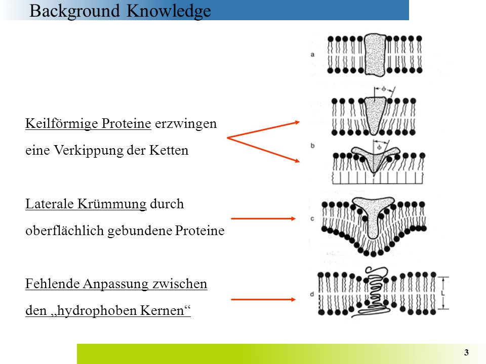 Background Knowledge Keilförmige Proteine erzwingen