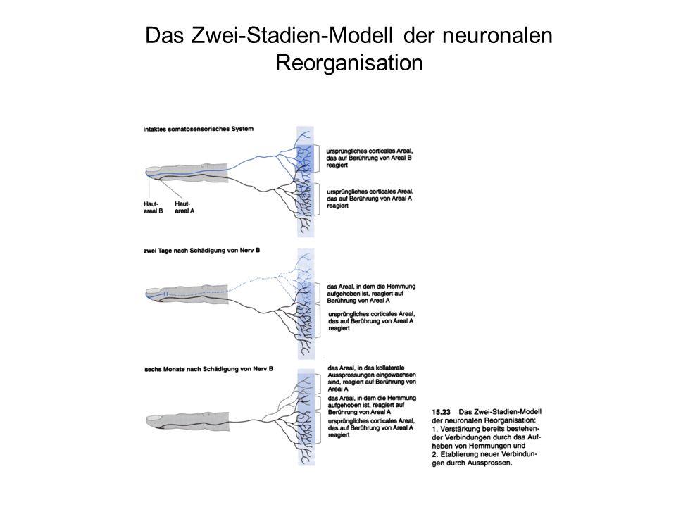 Das Zwei-Stadien-Modell der neuronalen Reorganisation