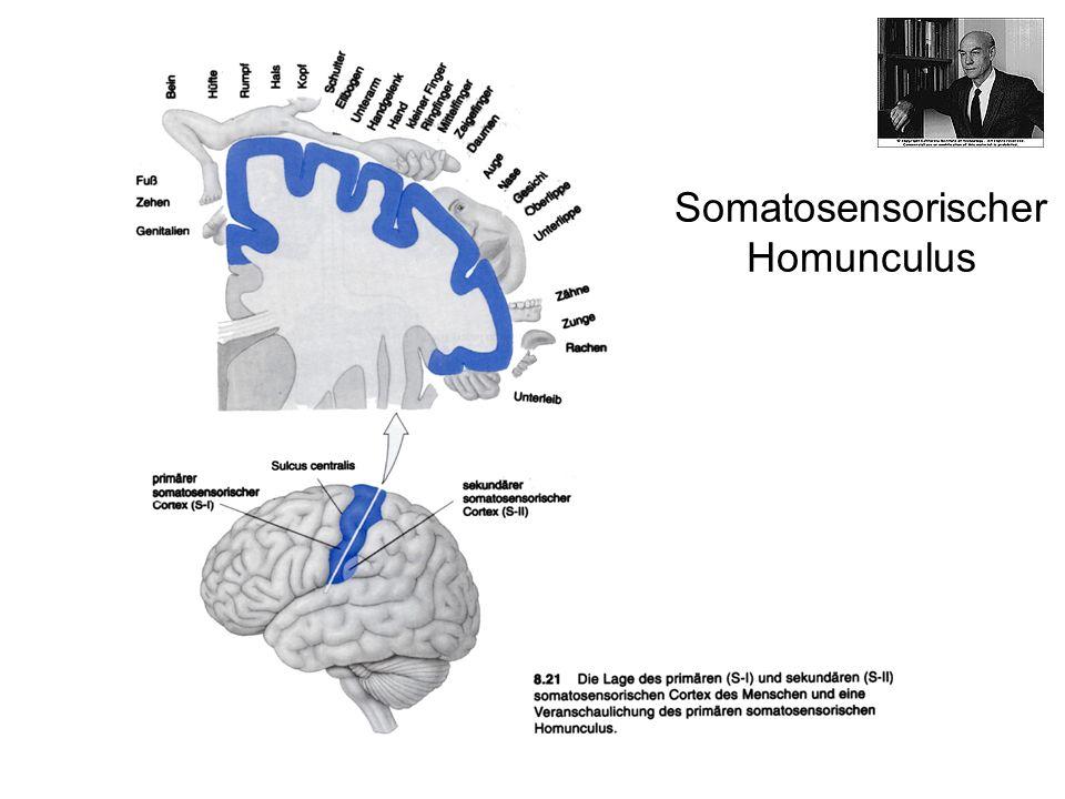 Somatosensorischer Homunculus