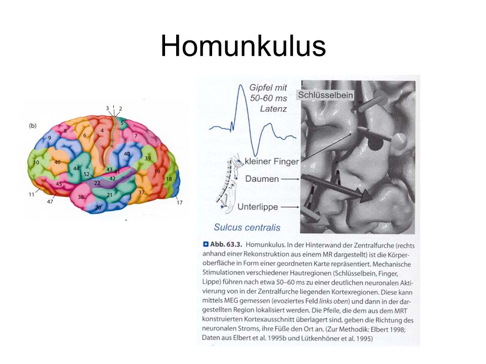 Homunkulus