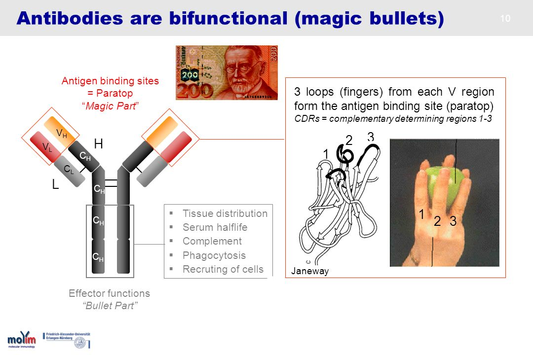 Antibodies are bifunctional (magic bullets)