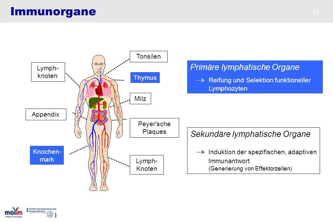 Immunorgane Primäre lymphatische Organe