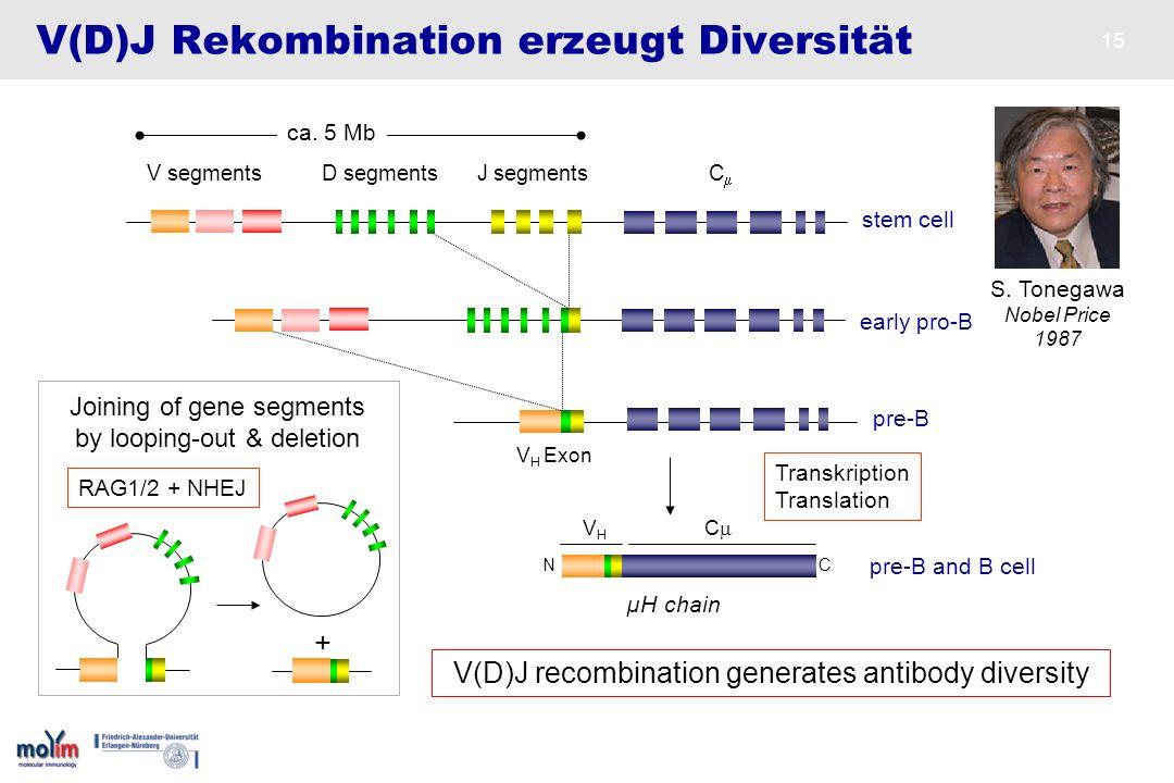 V(D)J Rekombination erzeugt Diversität
