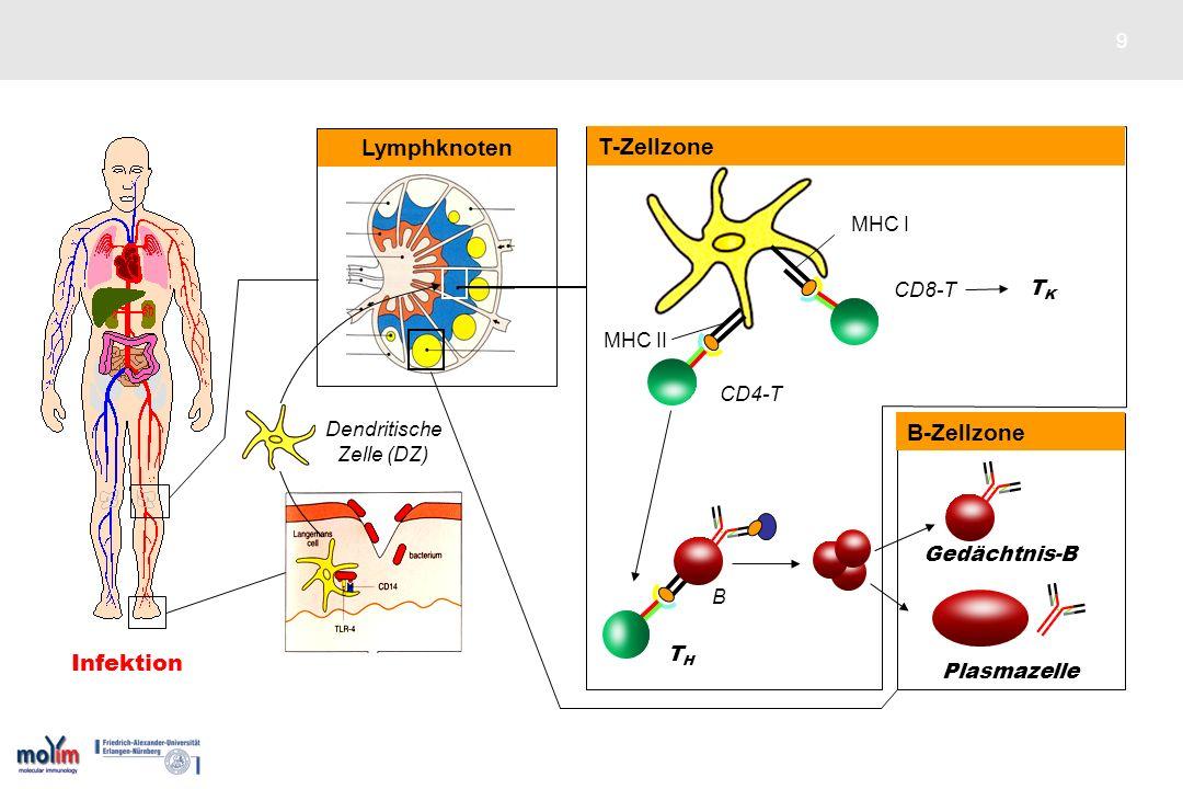 Lymphknoten T-Zellzone DZ B-Zellzone Infektion MHC I MHC II CD8-T TK