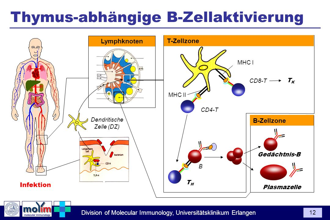 Thymus-abhängige B-Zellaktivierung