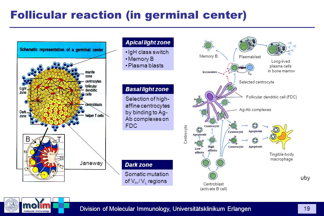 Follicular reaction (in germinal center)
