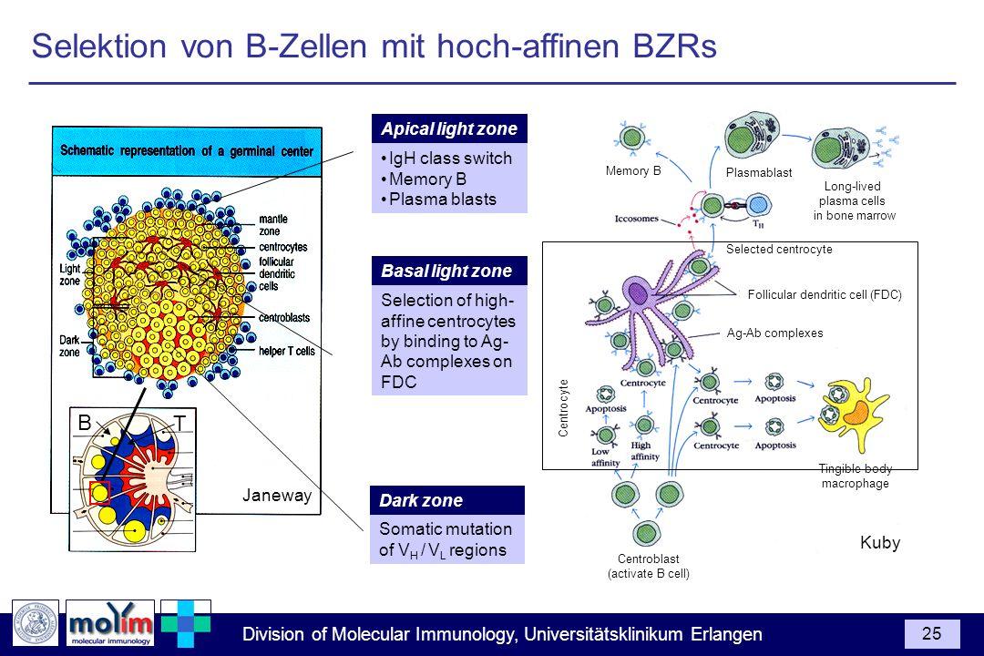 Selektion von B-Zellen mit hoch-affinen BZRs