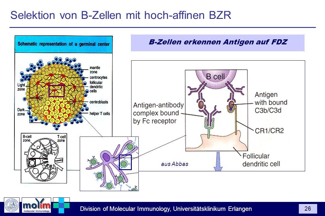 B-Zellen erkennen Antigen auf FDZ