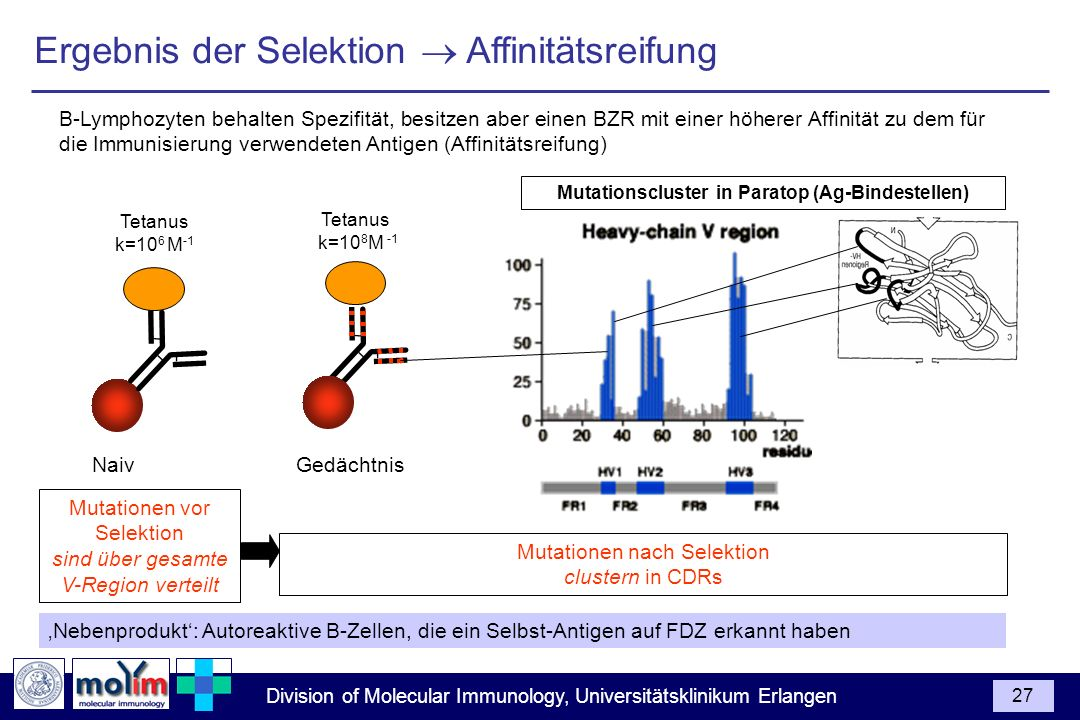 Mutationscluster in Paratop (Ag-Bindestellen)