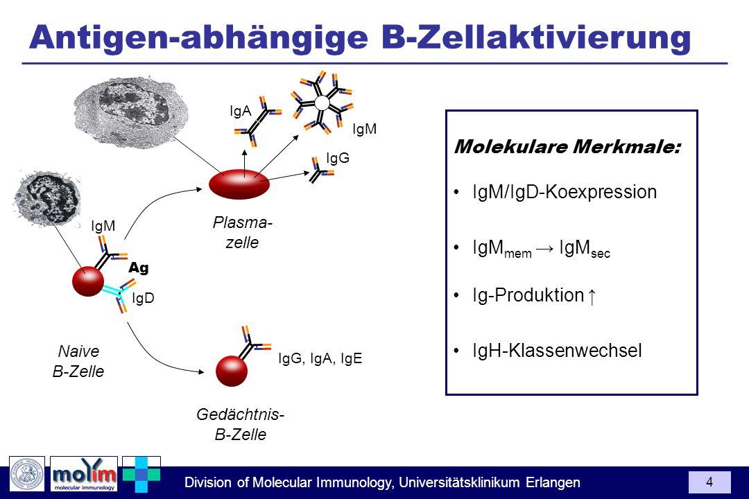 Antigen-abhängige B-Zellaktivierung