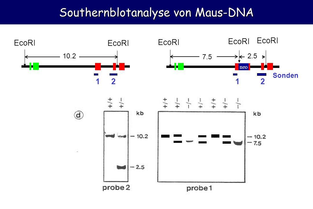 Southernblotanalyse von Maus-DNA