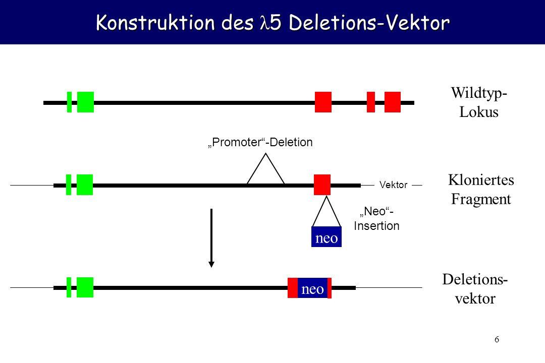 Konstruktion des λ5 Deletions-Vektor