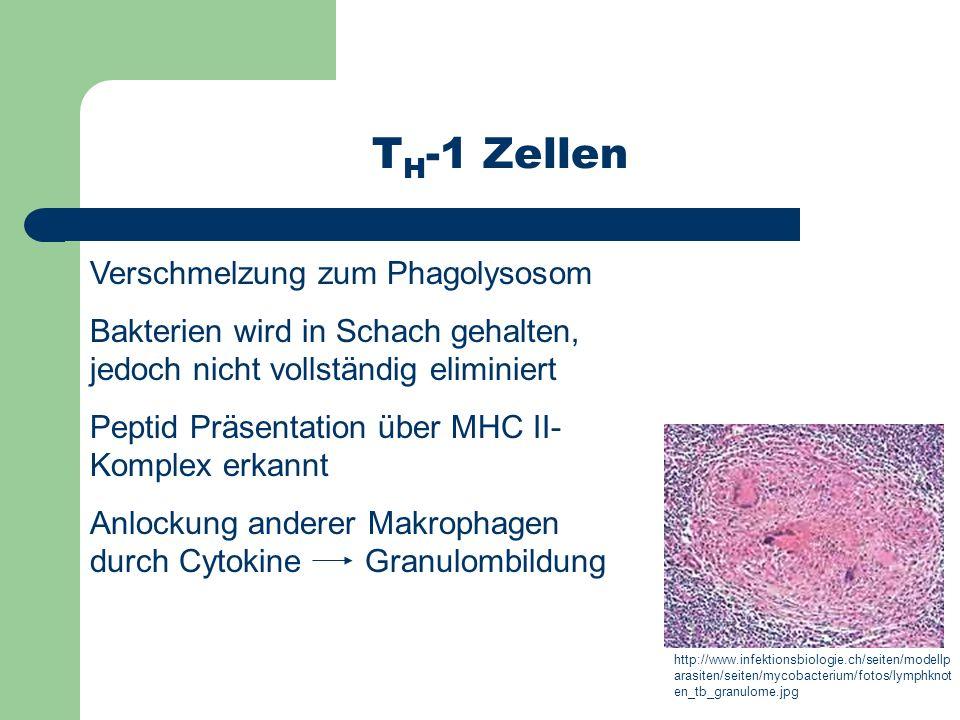 TH-1 Zellen Verschmelzung zum Phagolysosom