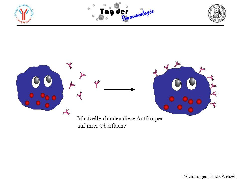 Mastzellen binden diese Antikörper auf ihrer Oberfläche