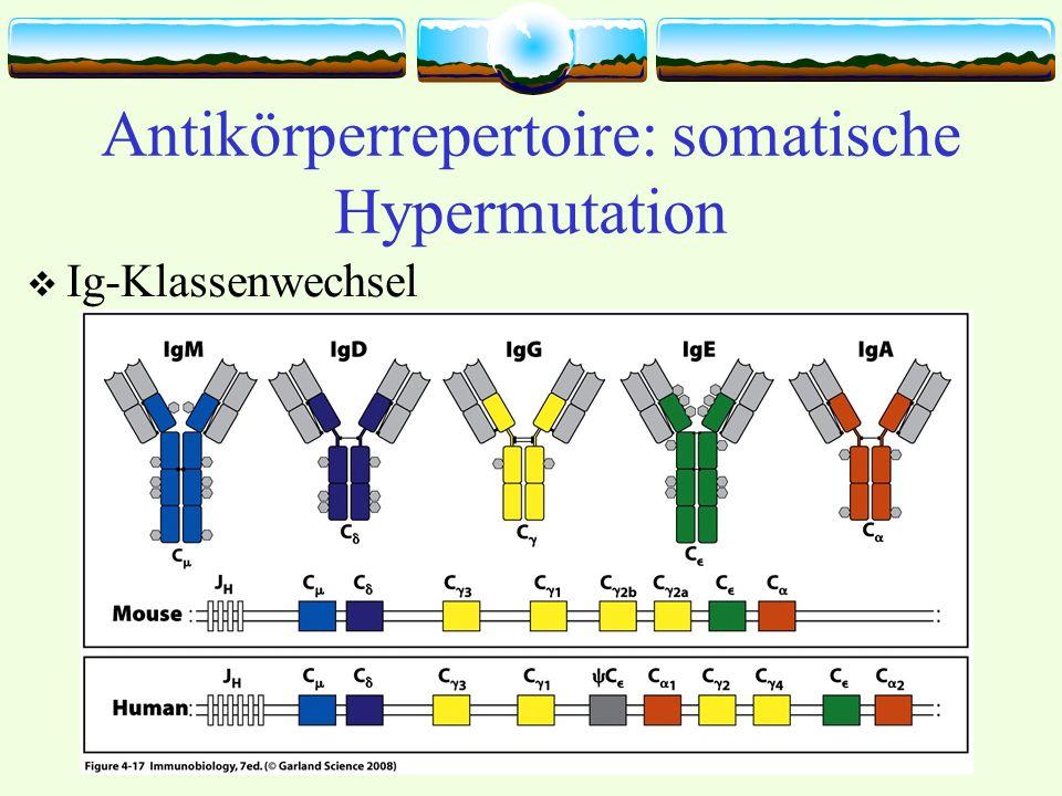 Antikörperrepertoire: somatische Hypermutation
