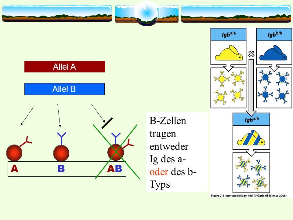 B-Zellen tragen entweder