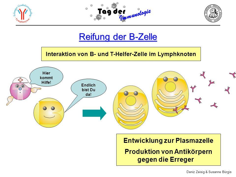 Reifung der B-Zelle Tag der Immunologie Entwicklung zur Plasmazelle