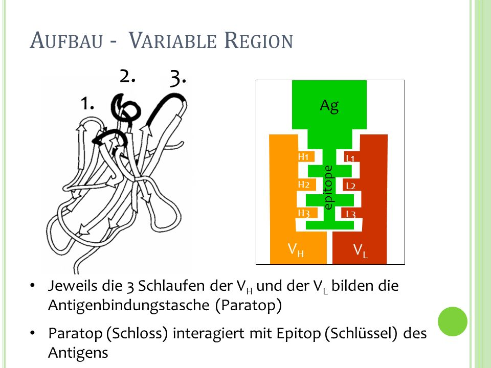 Aufbau - Variable Region