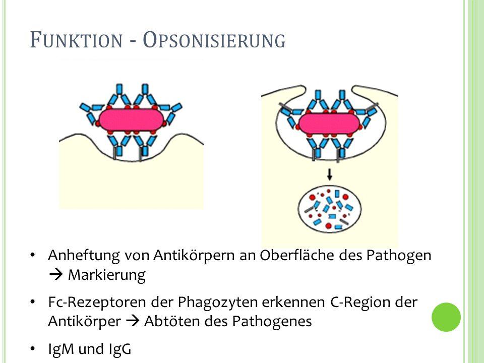 Funktion - Opsonisierung