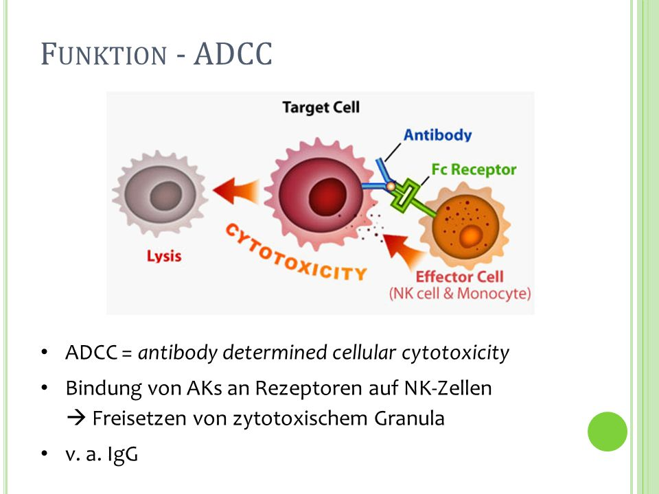 Funktion - ADCC ADCC = antibody determined cellular cytotoxicity
