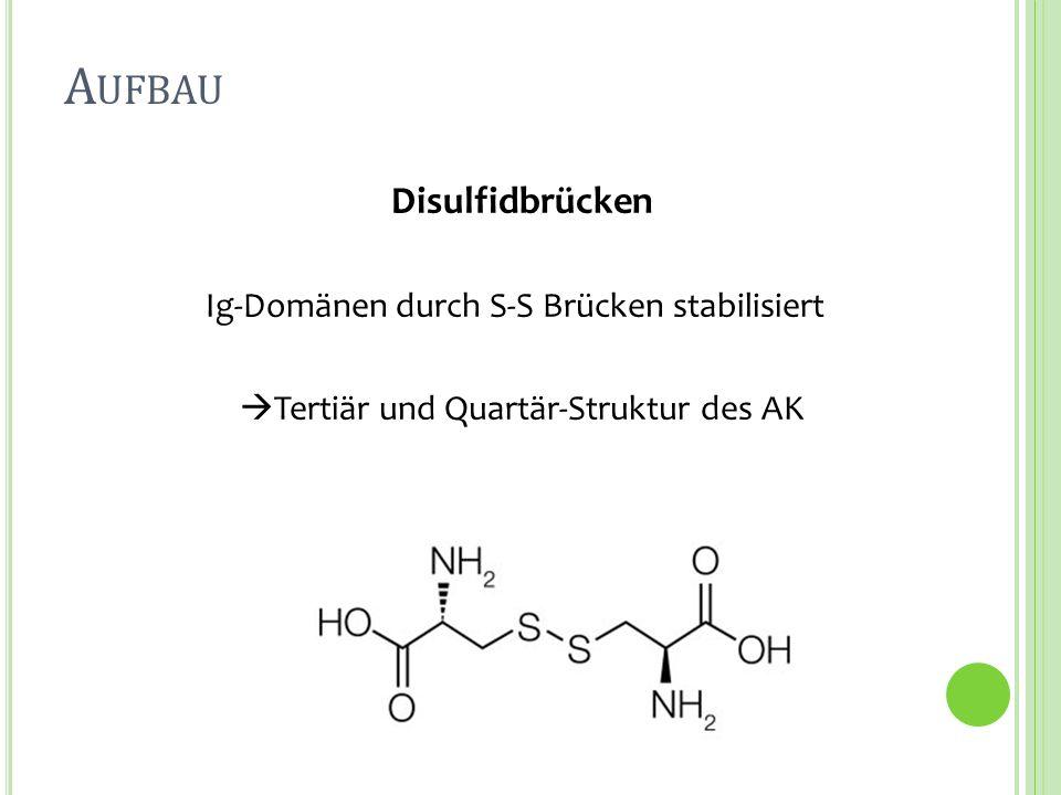 Aufbau Disulfidbrücken Ig-Domänen durch S-S Brücken stabilisiert