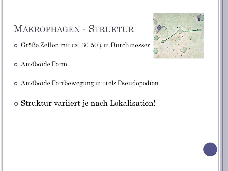 Makrophagen - Struktur