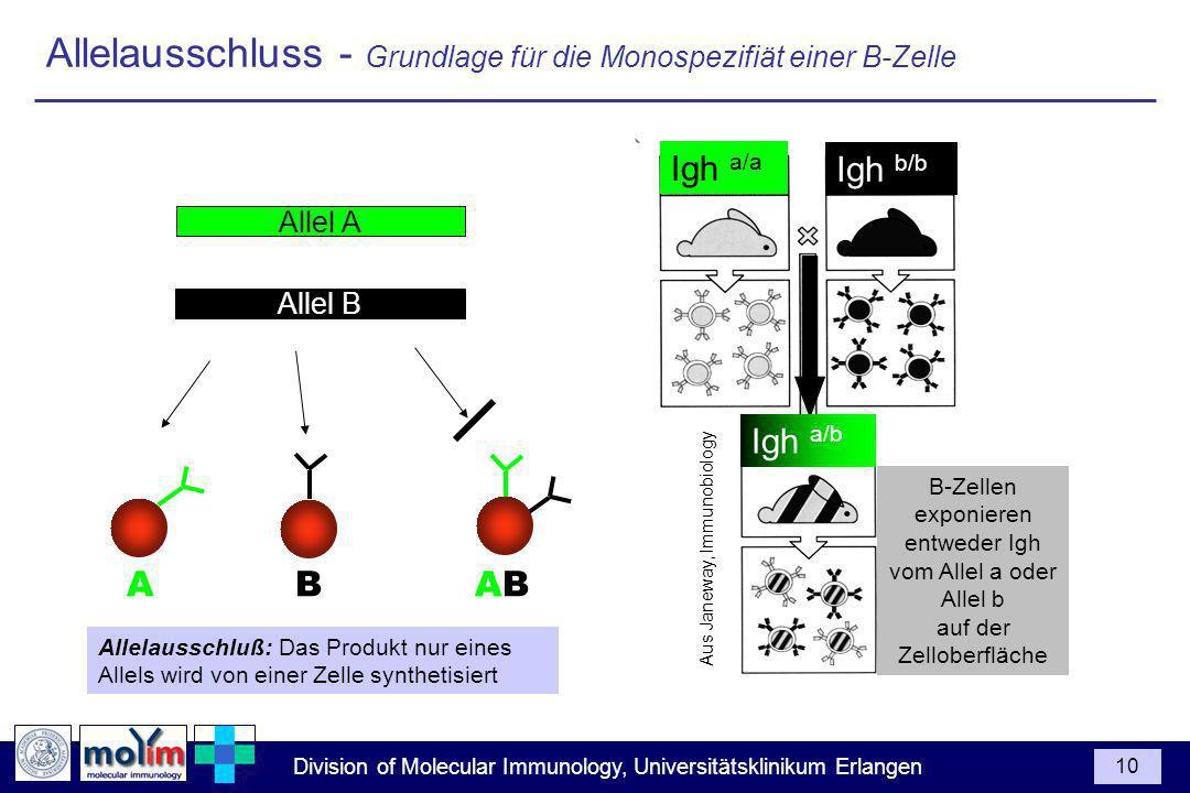 Allelausschluss - Grundlage für die Monospezifiät einer B-Zelle