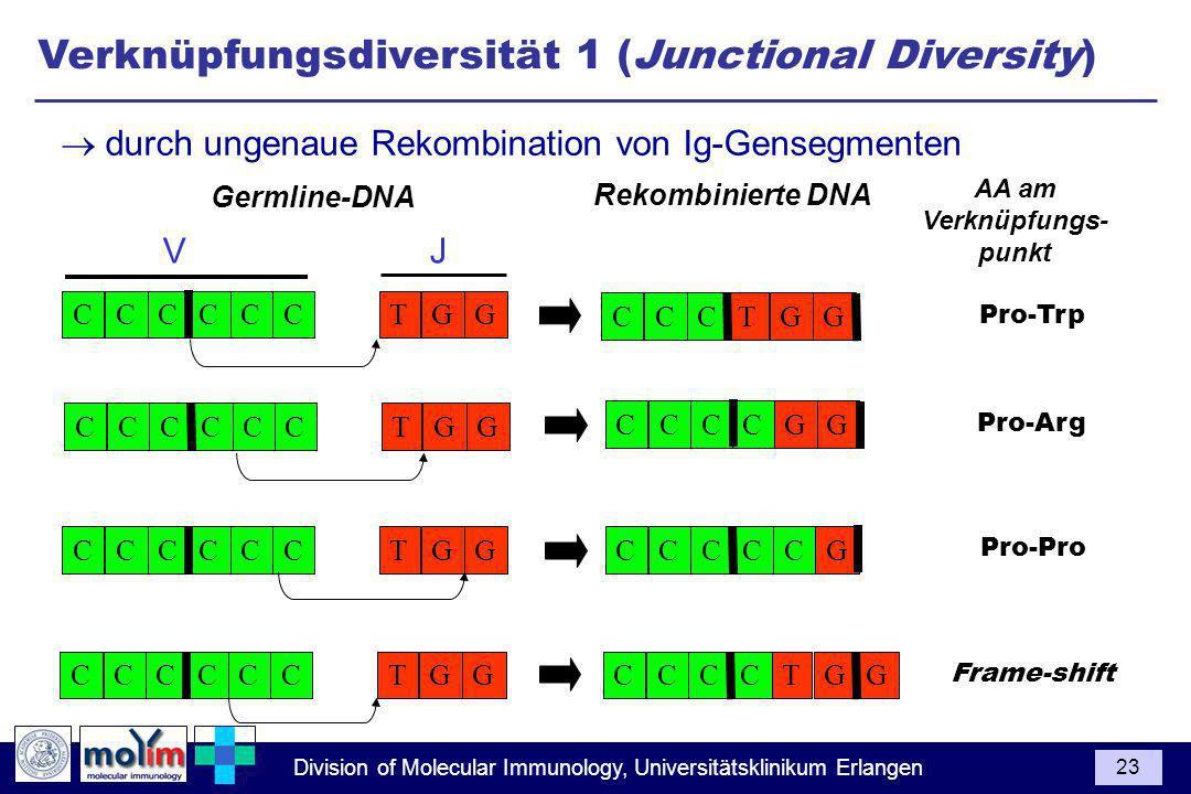 Verknüpfungsdiversität 1 (Junctional Diversity)